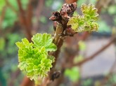 Red currant shoots